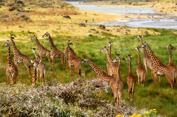 Giraffe herd. Arusha National Park