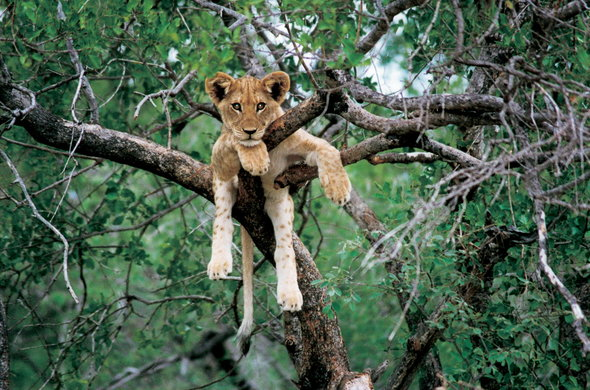 Lion cub spotted lounging in a tree.