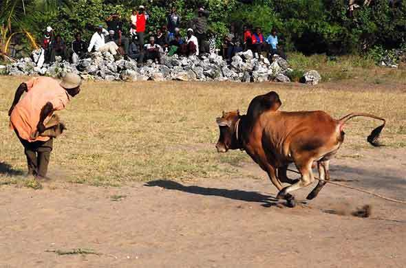 Bullfighting in Pemba.