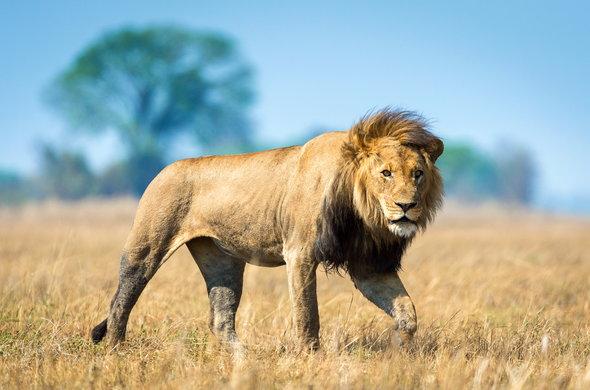 Lion in Kafue National Park, Zambia.