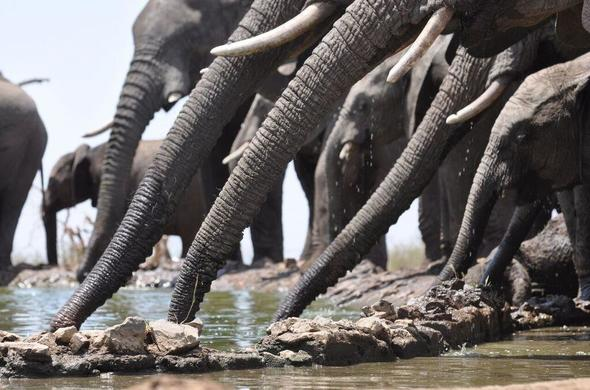 See herds of Elephant while on safari in Madikwe.