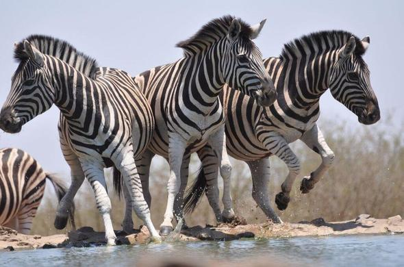 Madikwe Game Reserve is home to Zebra.