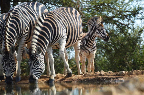 See Zebra on safari in Madikwe Game Reserve.