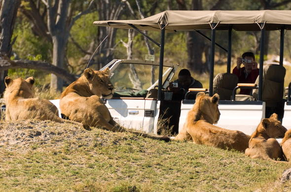 Pride of lions spotted on Botswana safari game drive.