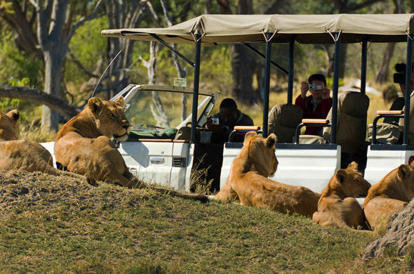 Guests photograph a lion pride in the Moremi game Reserve.