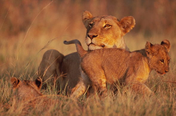 Lion and cubs spotted in Moremi Game Reserve.