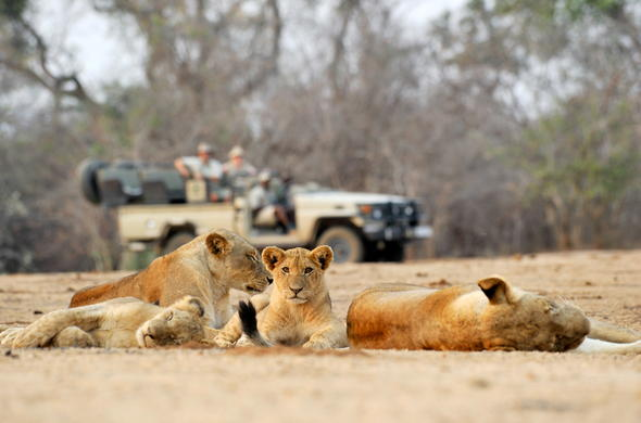 Lionesses spotted on game drive safari.