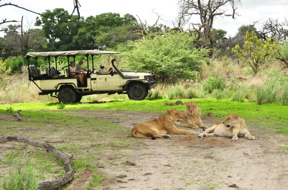 Lions spotted during game drive in Moremi.