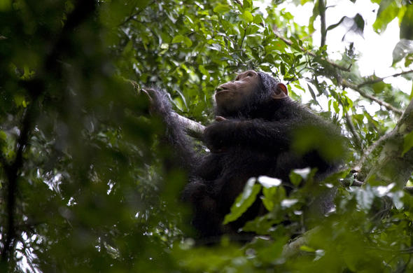 Wild chimpanzee seen in Tanzania.
