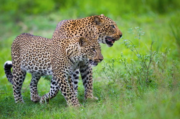 Leopard sighting in South Luangwa National Park.