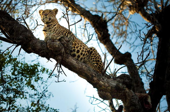 Leopard in a tree in Sabi Sand Game Reserve.