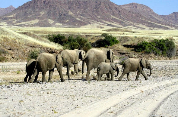 Elephants on the road
