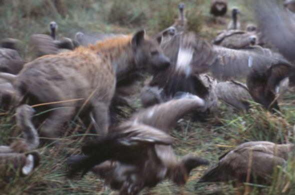 Hyenas and Vultures. Leigh Kemp