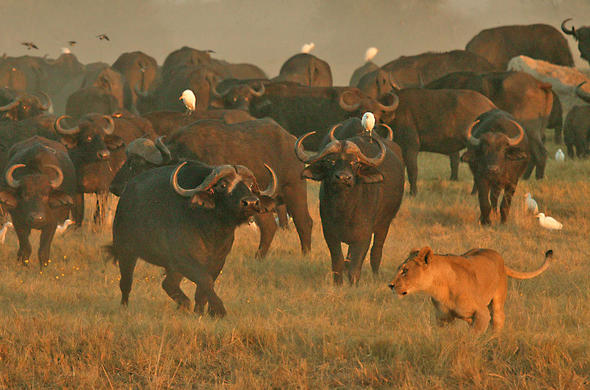 Buffalo face off with lions at Duba Plains. Botswana
