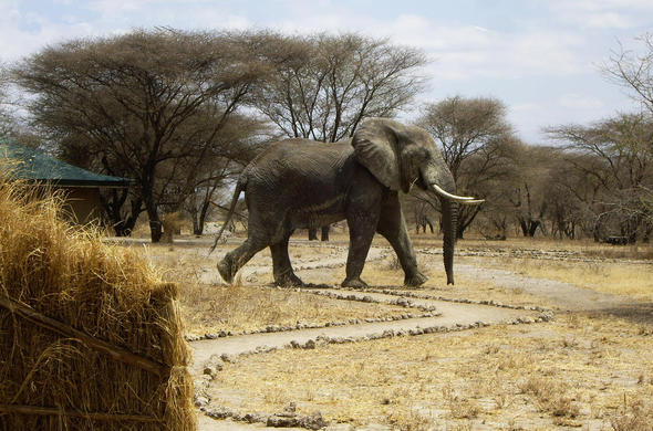 Elephant strolls through camp at Manyara Ranch Conservancy