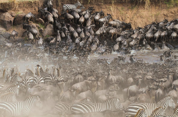 Be here between July & September. Widebeest and Zebras crossing the Mara