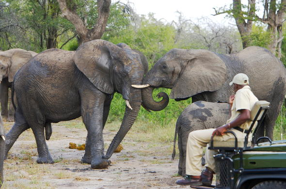 See Elephants while on safari in Sabi Sand Reserve.