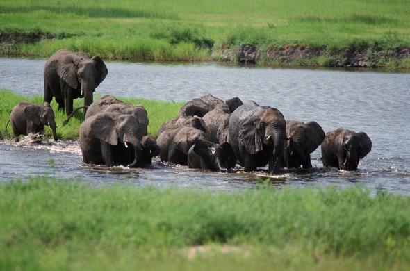 Elephants at Chobe River. Lee Kemp