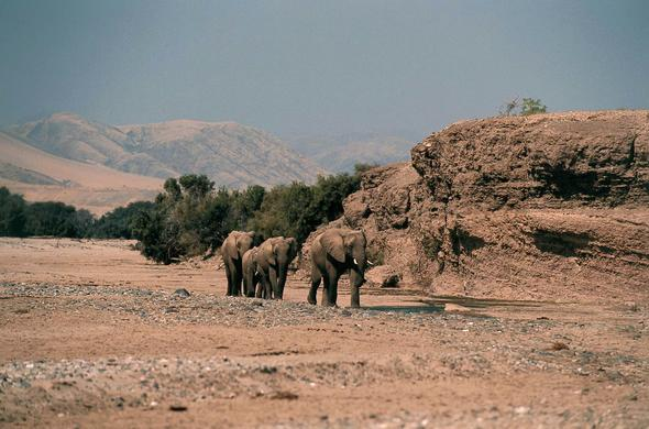 Elephants crossing the plains in Damaraland