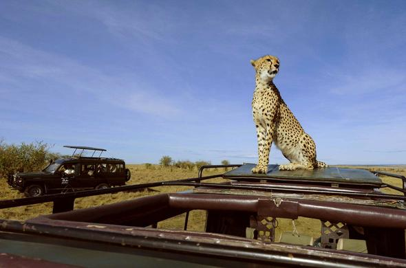 Where ever you go in the Mara there is always a cheetah on a safari vehicle. Etim Mara. Tanzania
