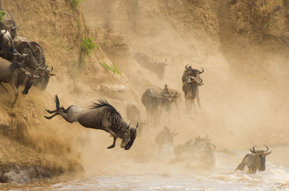 Wildebeest migration. The highlight of your stay at Etim Camp