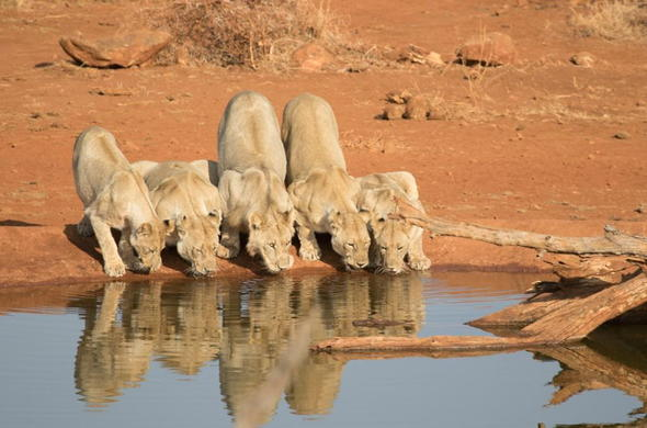 Lions drinking from a waterhole in Madikwe Reserve.