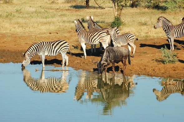 Zebra and wildlife in Madikwe Game Reserve.