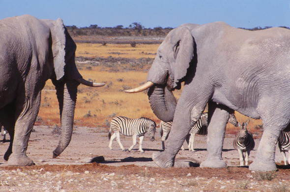 See elephants and Etosha wildlife in Namibia.