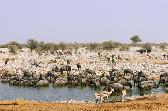 Etosha wildlife and birdlife as they congregate around a waterhole.