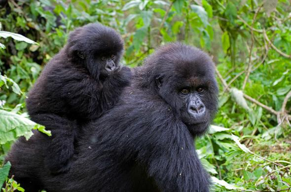 Female gorilla and her young