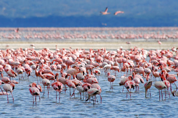 Flamingoes feeding on algae in Lake Nakuru.