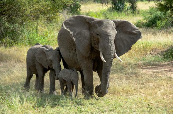 Family of elephants in Tanzania.