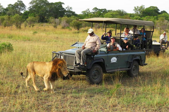 Guests on safari spot a lion while on a game drive.