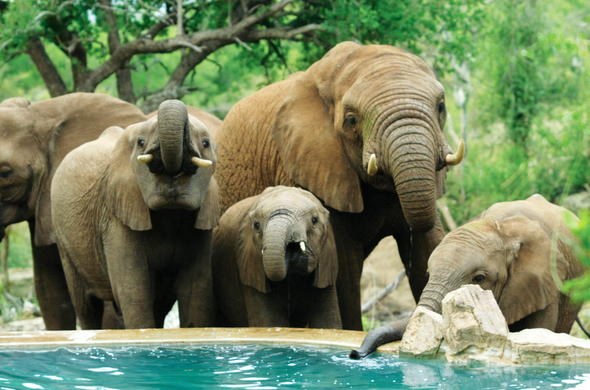 Elephants drinking water from the pool in Madikwe.