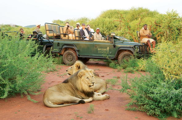 Male lions spotted in Madikwe Game Reserve.
