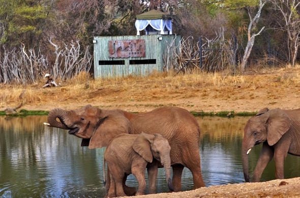 Elephants in front of the hide at Jacis Tree Lodge.
