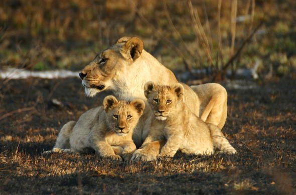 Lioness protecting her cubs.