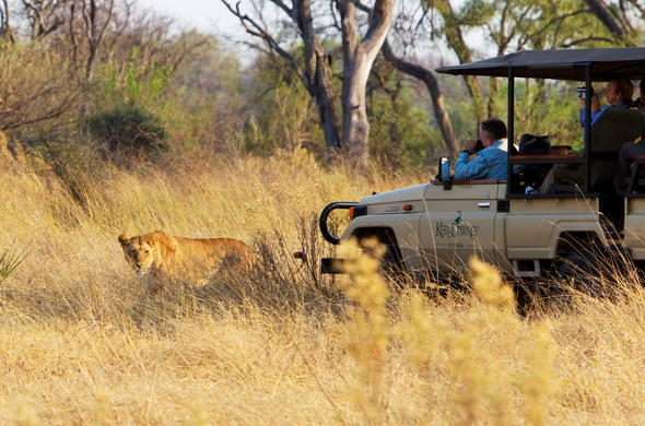 See lion while on a game drive in Okavango Delta.