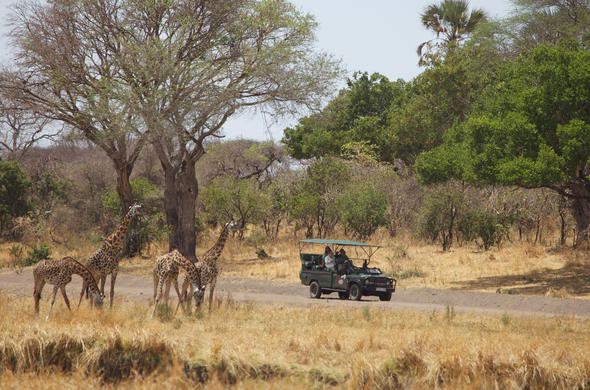 Girafef encounter near katavi Wilderness Camp