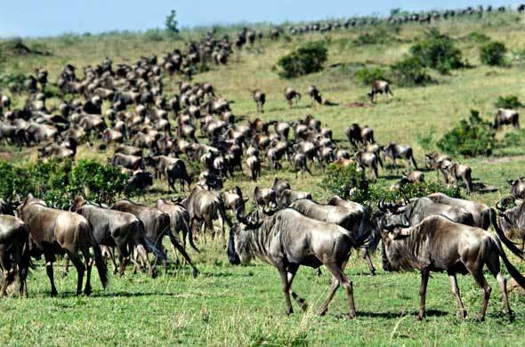 Migrating wildebeest crossing the Mara River.