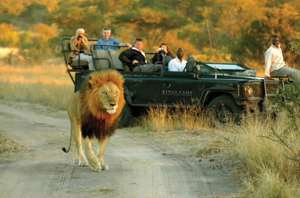 See lion while on your South African safari tour.