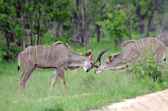 Kudu rams fighting.