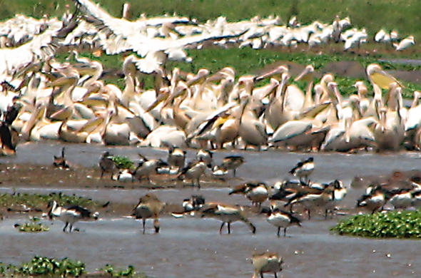 Pelcans on Lake Manyara. Simon Bloomhill