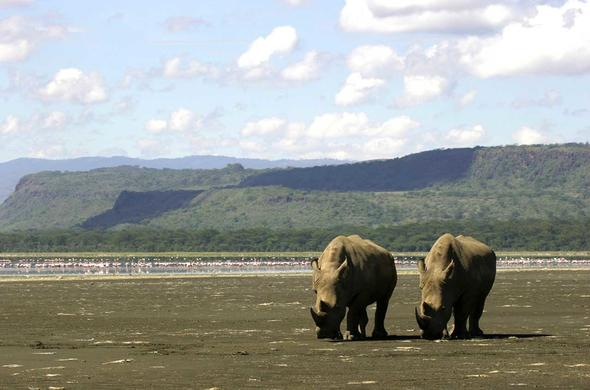 Lake Nakuru. Rhinos. Simon Bloomhill