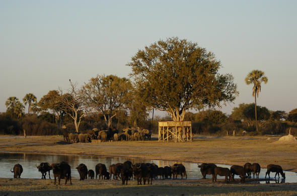 Buffalos and Elephants atr Linkwasha Camp. Hwange