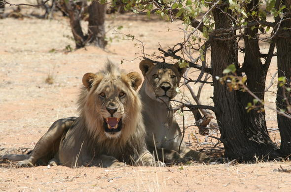 Lions in Namibia.