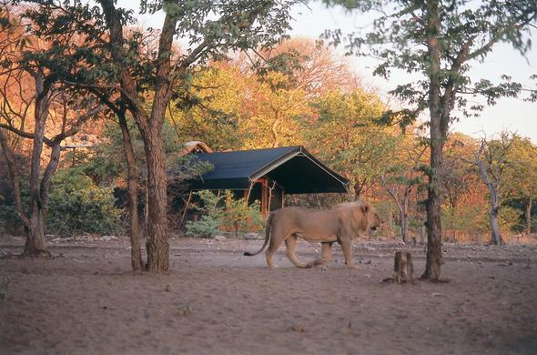 Lion passing through a campsite