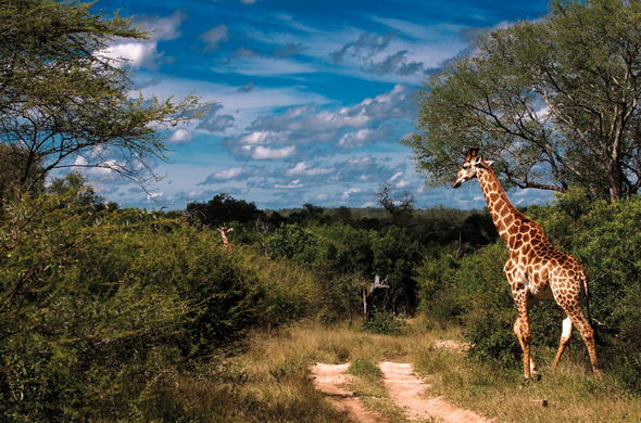 Giraffe sighting in Kruger National Park.
