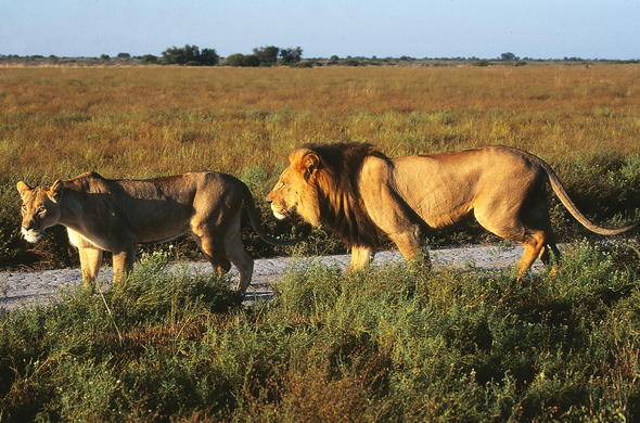 Lion sighting in Central Kalahari Game Reserve.