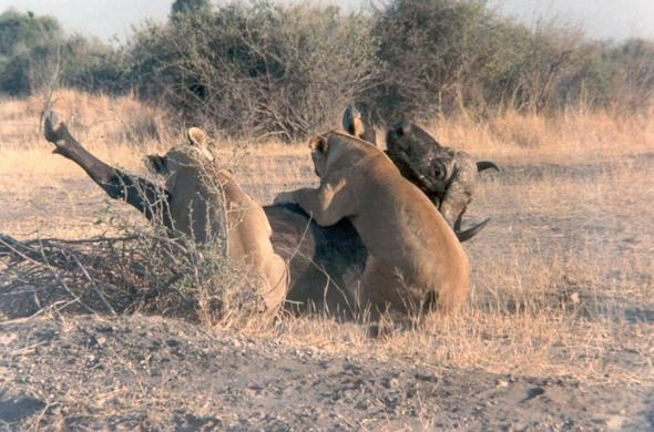 Lionesses bring down a buffalo